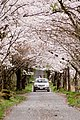 Sakura flower in Maniwa, Okayama Prefecture; April 2012 (11).jpg