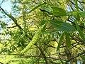 Salix alba 009.jpg