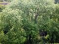 Salix koreensis 01.JPG