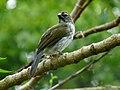 Saltator striatipectus -Manizales, Caldas, Colombia-8.jpg