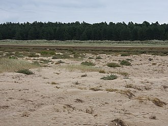 Holkham National Nature Reserve - The pines and salt marsh protect and stabilise the dunes.