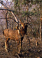 Sambar (Rusa unicolor) (20158518679).jpg
