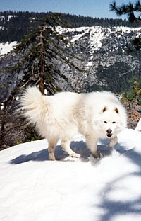 http://upload.wikimedia.org/wikipedia/commons/thumb/0/09/Samoyed_on_snow.jpg/200px-Samoyed_on_snow.jpg