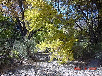 San Andres National Wildlife Refuge - San Andres Spring with fall cottonwoods.  San Andres spring is one of several springs creating small riparian environments.