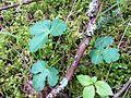 Sanicula crassicaulis (Pacific Sanicle) - Flickr - brewbooks (1).jpg