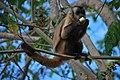 Sapajus libidinosus paraguayanus 2.jpg