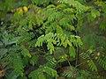 Sapling Adenanthera pavonina P1140194 04.jpg