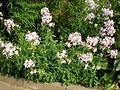 Saponaria officinalis 2c.JPG