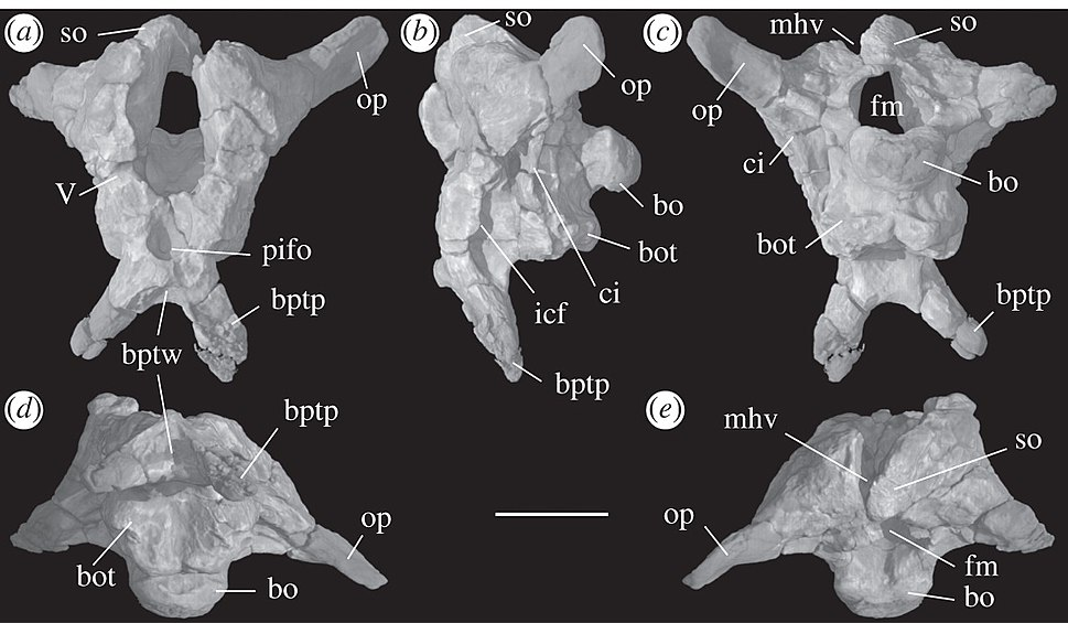 Sarahsaurus braincase