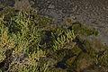 Sarcocornia fruticosa, Sète 01.jpg