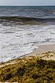 Sargasso Seaweed with waves and sandy beach.jpg