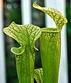 Sarracenia ((oreophila x flava) x leucophylla) x open-pollinated (7171077997).jpg