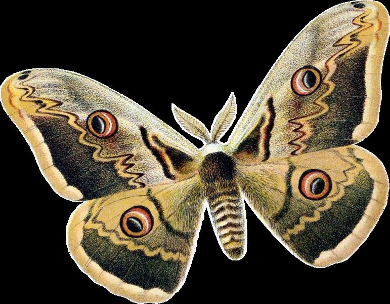 File:Saturnia pyri dessin.png