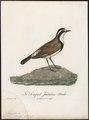 Saxicola pileata - 1796-1808 - Print - Iconographia Zoologica - Special Collections University of Amsterdam - UBA01 IZ16200312.tif