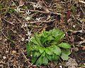 Saxifraga stellaris ssp. prolifera PID1925-2.jpg