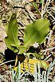 Scadoxus puniceus in Jardin des plantes de Montpellier.jpg