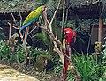 Scarlet Macaw (3) (26030031217).jpg