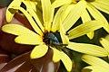 Scelophysa trimeni (Scarabaeidae- Melolonthinae-Rutelinae- Hopliini) on Osteospermum oppositifolium (Asteraceae) (37180323860).jpg