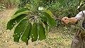 Schefflera morototoni (Aubl.) Maguire, Steyerm. & Frodin (8182052558).jpg