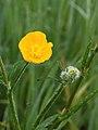 Scherpe boterbloem (Ranunculus acris) 02.JPG