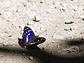 Schillerfalter CF9A3851.jpg