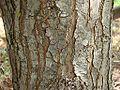 Schinus terebinthifolius stem.jpg
