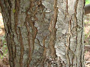 Schinus terebinthifolius - Image: Schinus terebinthifolius stem