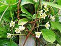 Schisandra chinensis Blüte.jpg