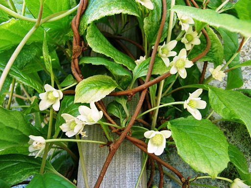 Schisandra chinensis Blüte