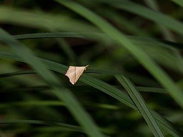 Schmetterling im Attemsmoor CF9A6051.jpg