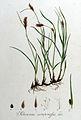 Schoenus compressus — Flora Batava — Volume v9.jpg