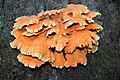 Schwefelporling (Laetiporus sulphureus) im Landschaftsschutzgebiet Hainberg.jpg