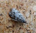 Scoparia ambigualis - Flickr - gailhampshire (3).jpg