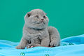 Scottish fold- straight 01.JPG