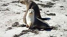 Pearson Island-Fauna-Sea Lion Mother & Cub - Pearson Island, Investigator Group Conservation Park, South Australia