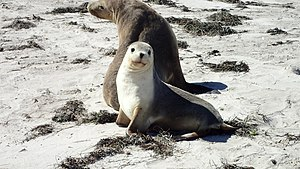 Australian sea lion - Sea Lion Mother and Cub - Pearson Island, South Australia