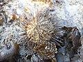 Sea urchin on dry place when low tide.jpg