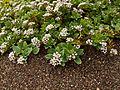Seaside heliotrope (Heliotropium curassavicum) (5968544497).jpg