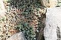 Sedum dasyphyllum 0zz.jpg