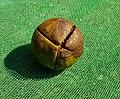 Seed of Camellia oleifera 2.jpg