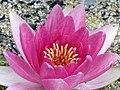 Seerose - Rose Arey - panoramio.jpg