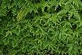 Selaginella braunii 8461.jpg