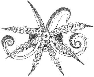 Cephalopod limb - Oral view of the bobtail squid Semirossia tenera