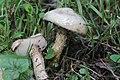 Sengbachtalsperre 20.08.2017 Sticky Bolete - Suillus viscidus (23579556228).jpg