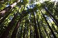 Sequoyas del Monte Cabezón.jpg