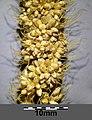 Setaria italica subsp. italica sl35.jpg