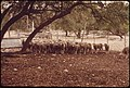 Sheep on a Ranch in the Leakey, Texas, Area Are Held in Pens for Shearing, Then Are Returned to Pasture Or Sent for Slaughter near San Antonio 05-1973 (3703575963).jpg