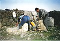 Sheep shearing near Staffin - geograph.org.uk - 283733.jpg