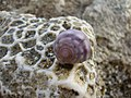Shell on coral (3839425918).jpg