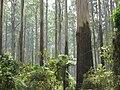 Sherbrooke Forest Dandenong Ranges.JPG